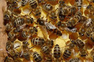 ¿Las abejas se están extinguiendo?